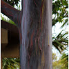 the rainbow eucalyptus, Mindanao gum, or rainbow gum