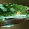 Fiji Banded Iguana (Male)