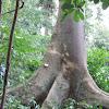 Bark Cloth tree